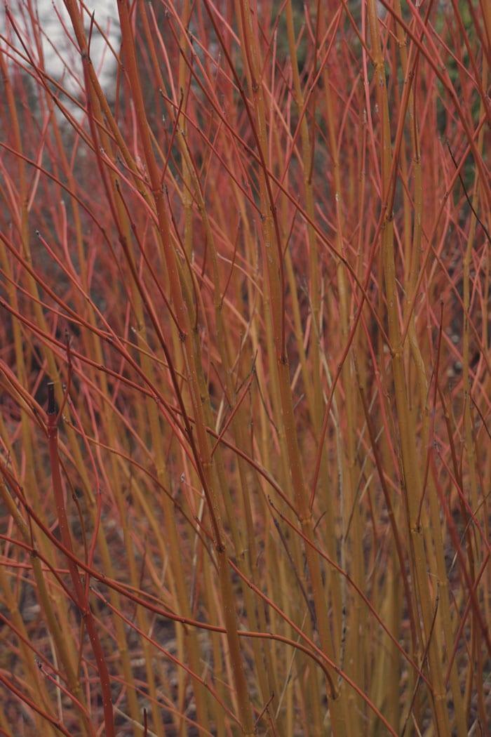 Dogwood - Cornus sericea cardinal