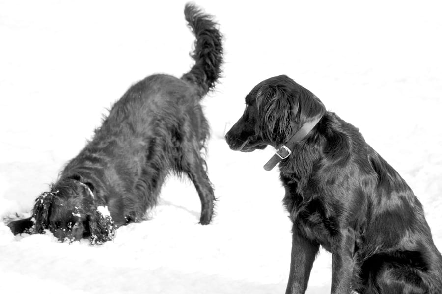 Snow Play by Flat Coated Retrievers - Wild About Here