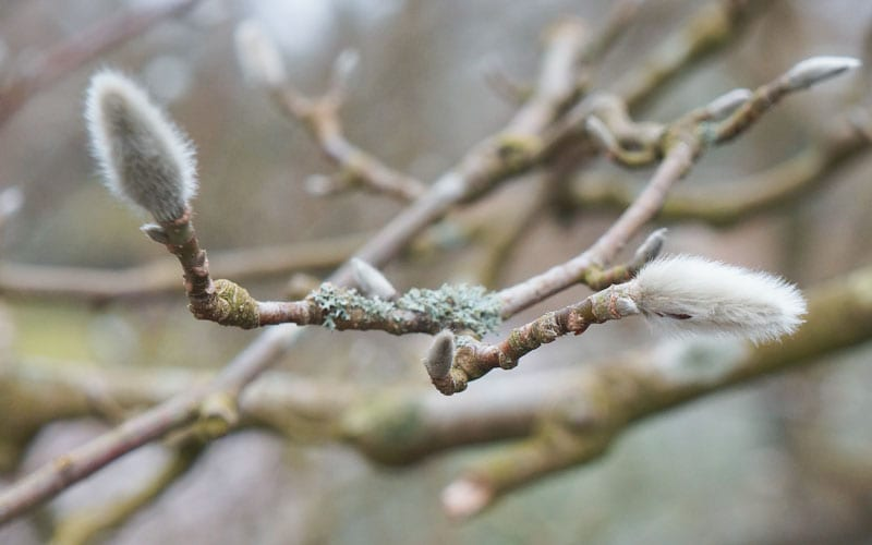 Magnolia tree buds