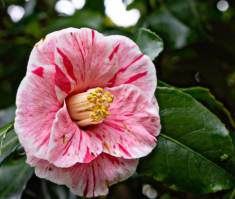 Pink and white striped Camellia