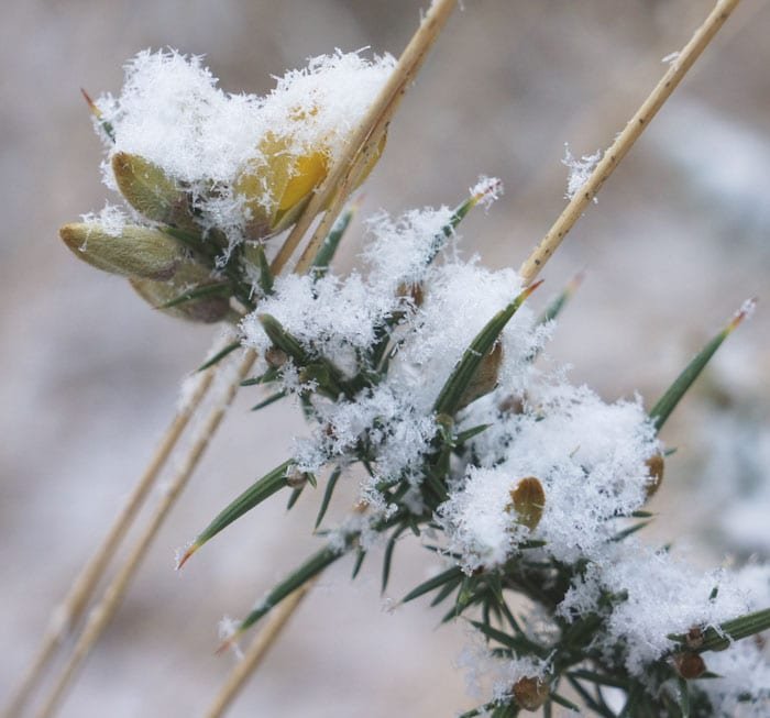snow on gorse flowers