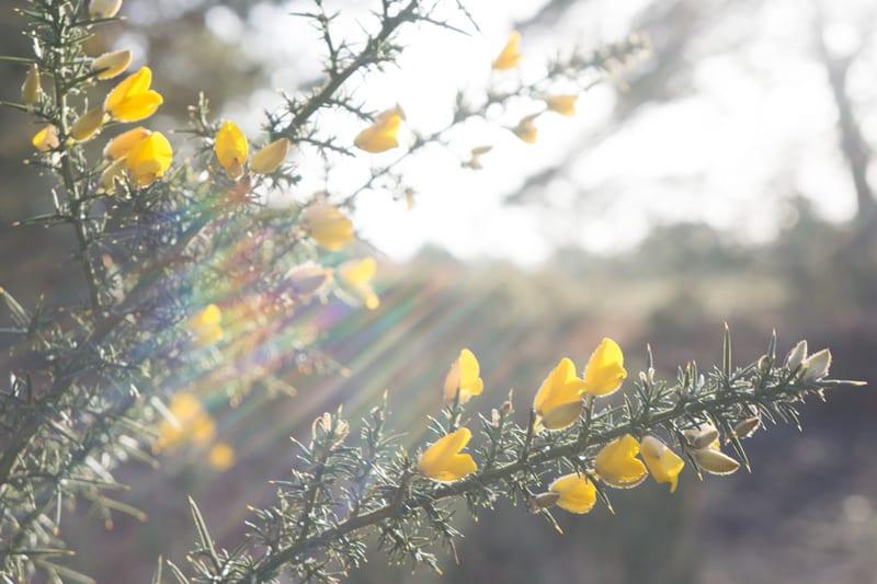 Sun rays on Gorse flowers