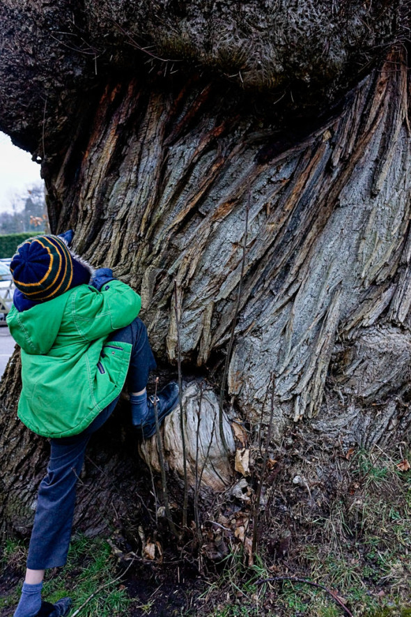 Theo climbing a sweet chestnut