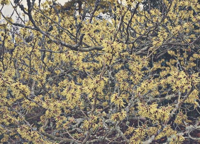 Witch hazel shrub