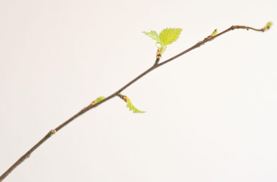2 March leaf buds