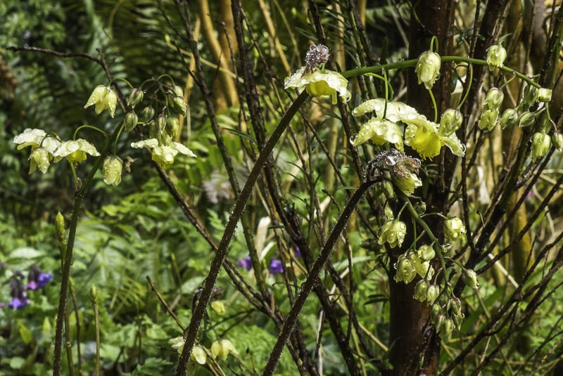Bishops Hat flowers - Epimedium