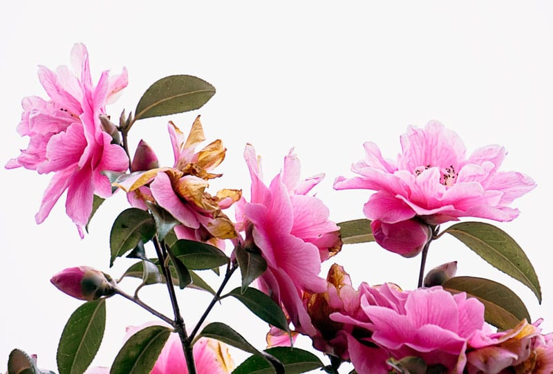 Camellias in the light