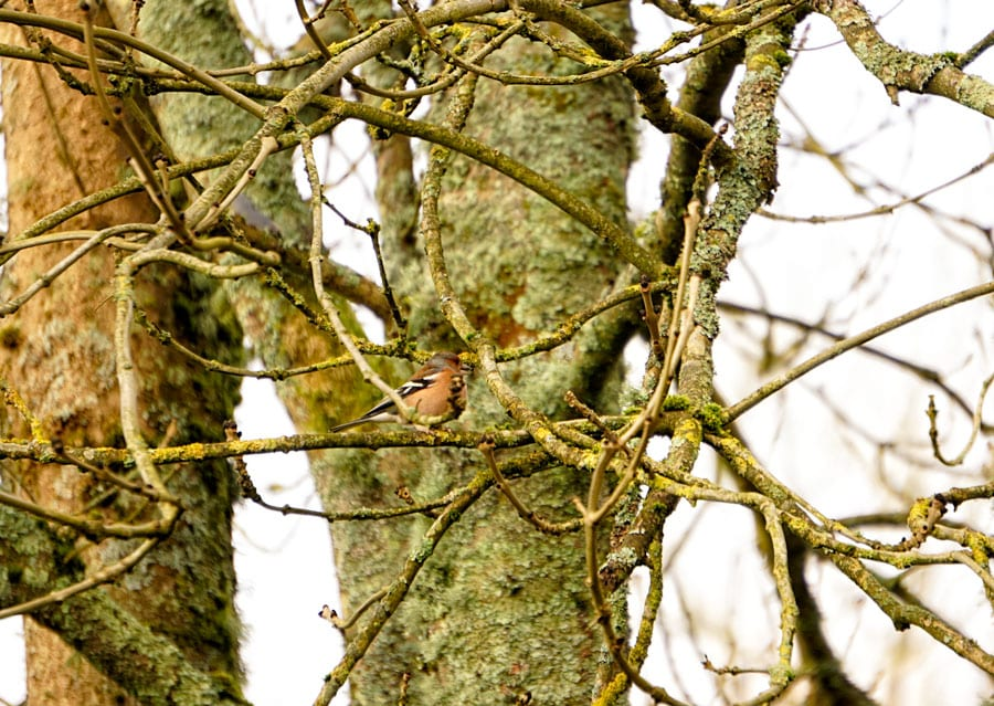 Chaffinch on Ash tree branch
