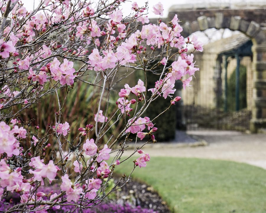 Garden gate and Rhododendron