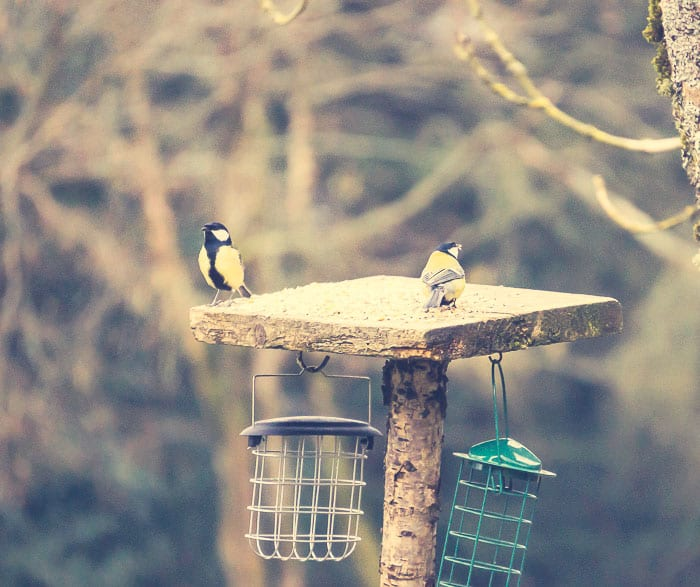 Great tits on feeder