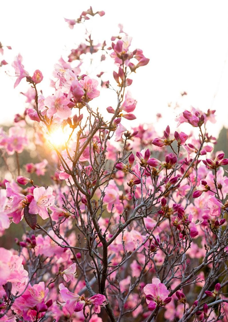 Sun peeking through Rhododendron