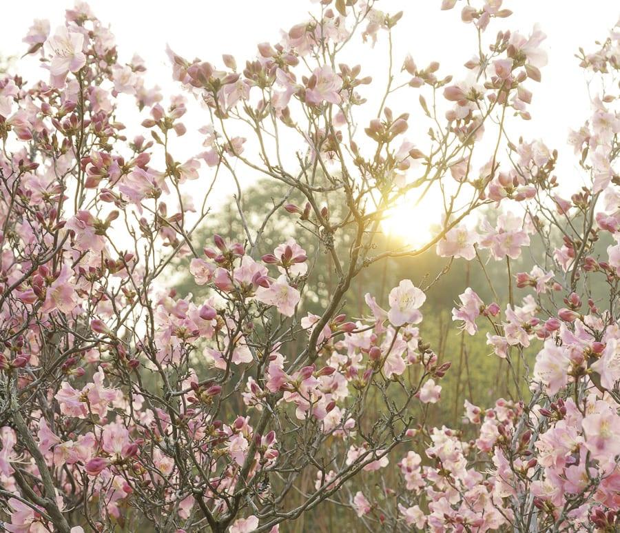 Sun descending behind Rhododendron