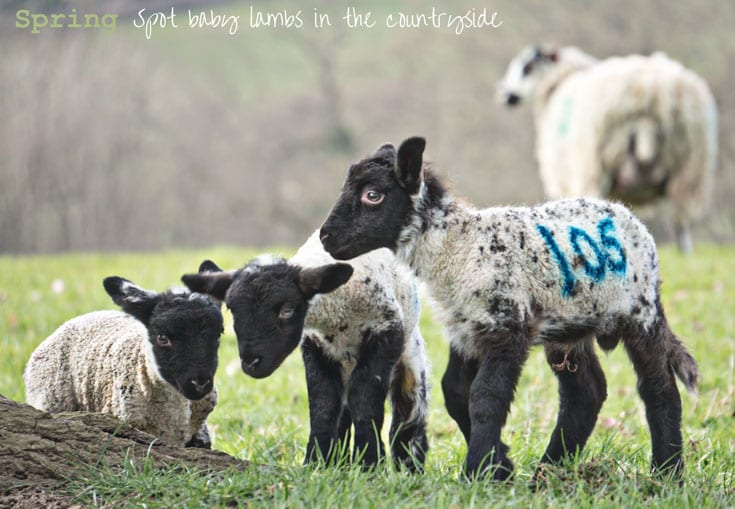 Spring - spot baby lambs in the countryside