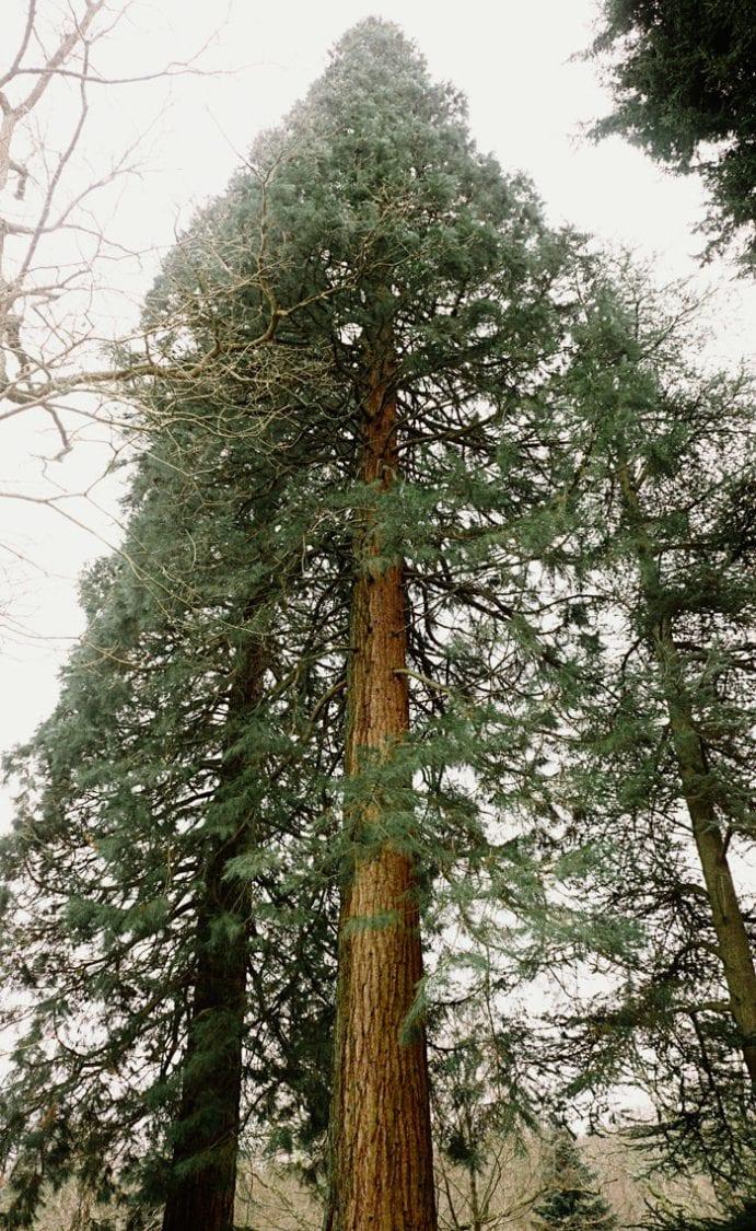 Wakehurst Giant Sequoias