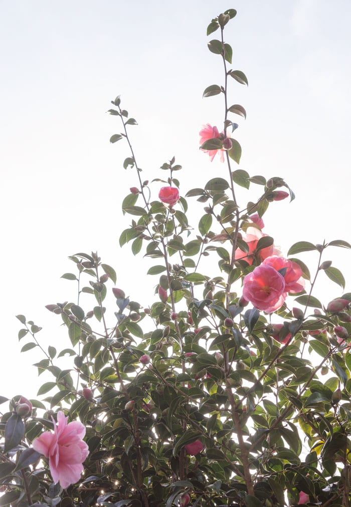 white sky and Camellias