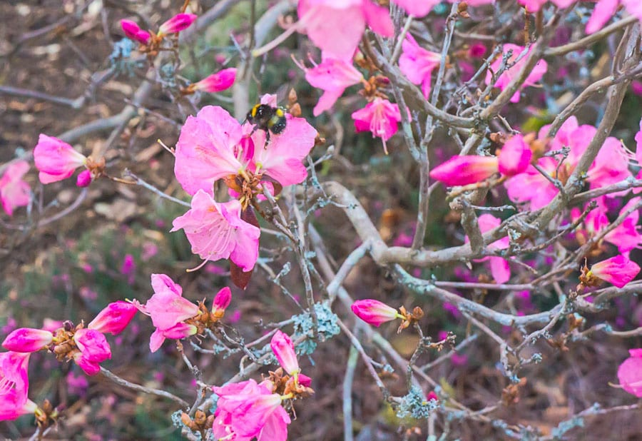Bee amid rhododendron flowers