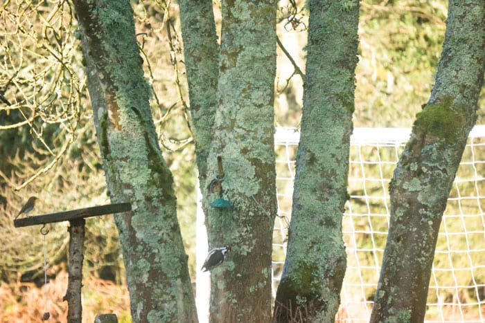 Wild birds and Ash tree
