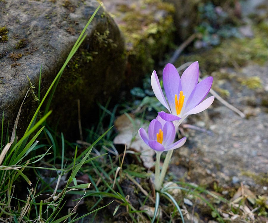 purple crocus on stone path