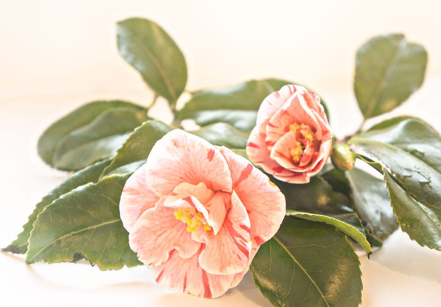 Cut Camellias