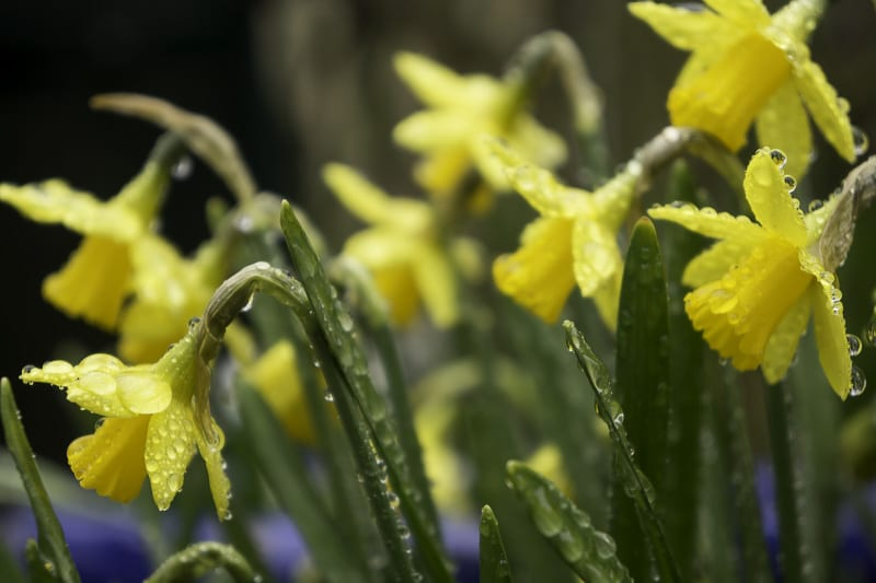Daffodils covered in raindrops