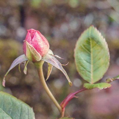 Rose bud so soon?