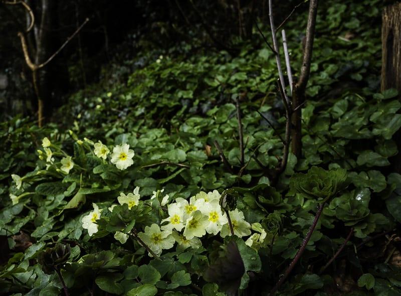 Primrose in shade
