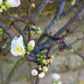 Quince white flowers