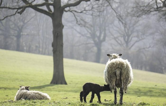 Baby lamb drinking milk from ewe