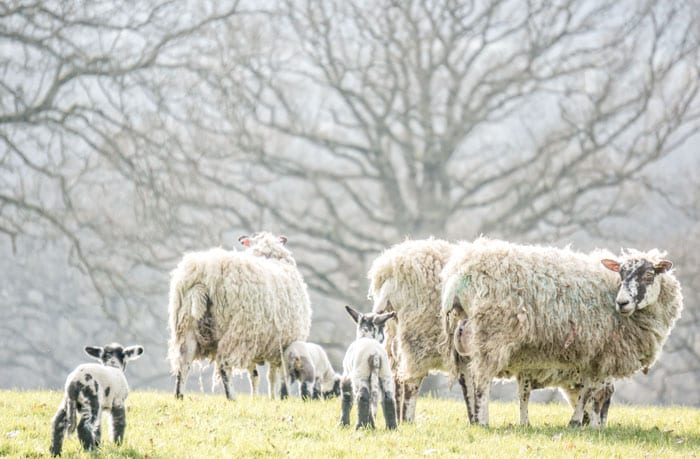 Baby lambs in English countryside