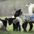 Three little baby lambs