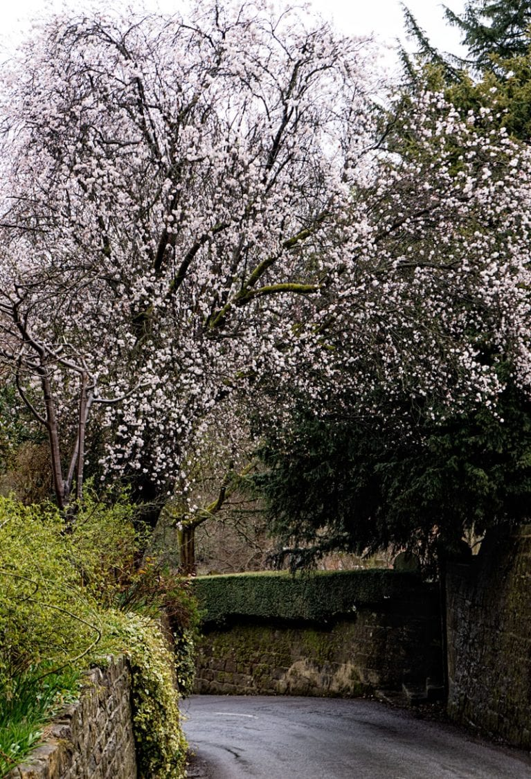 Tree with Blossoms March