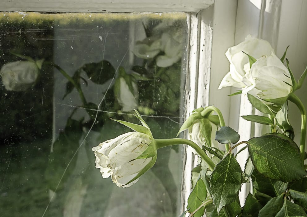 White roses and window reflection