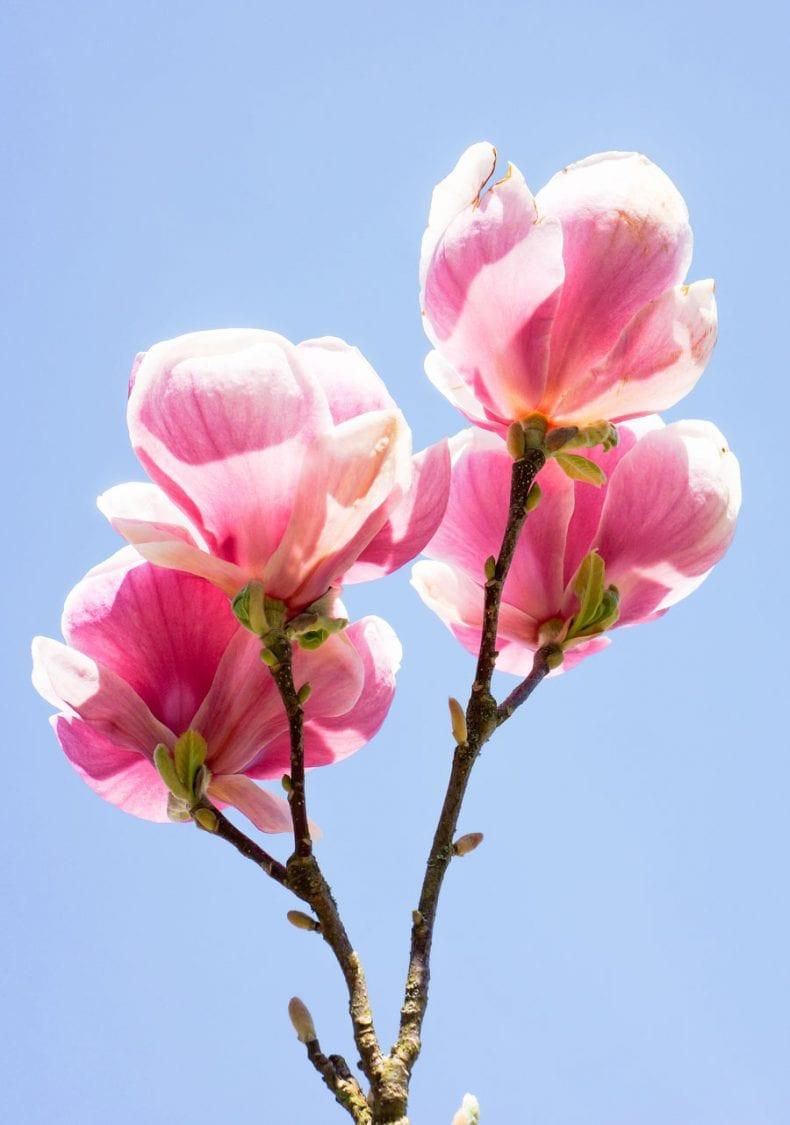 Pink Magnolias against blue sky