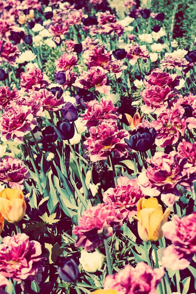 Tulip-bed-at-Standen-House