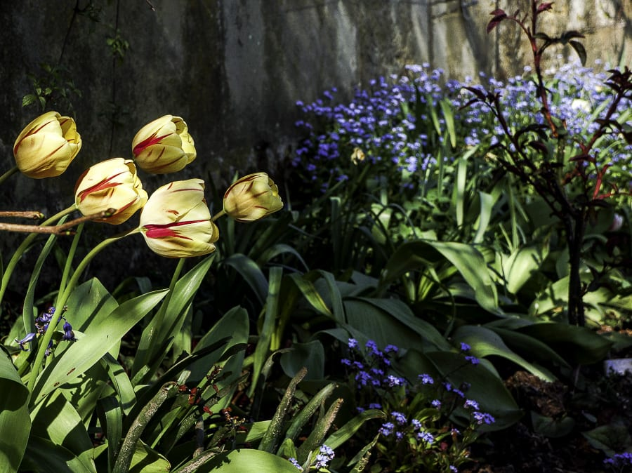 Tulips and flowers by wall