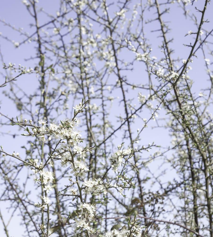 flowering brambles
