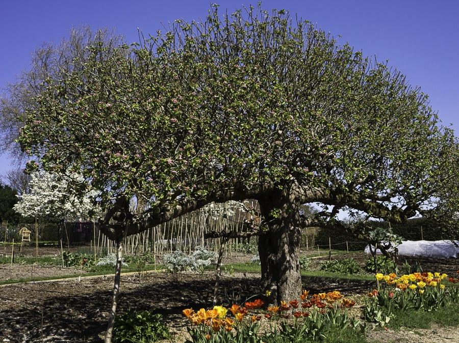 flowering fruit tree Standen House