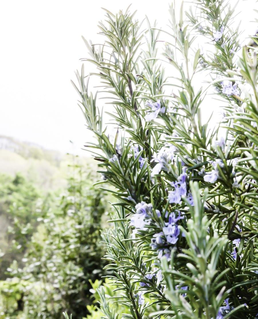 Flowering lavendar