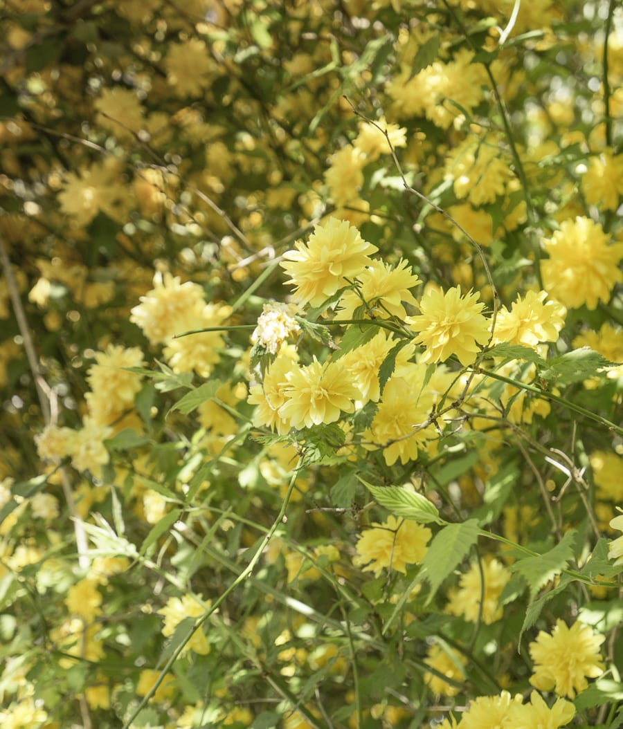 Yellow flowering shrub at Standen House