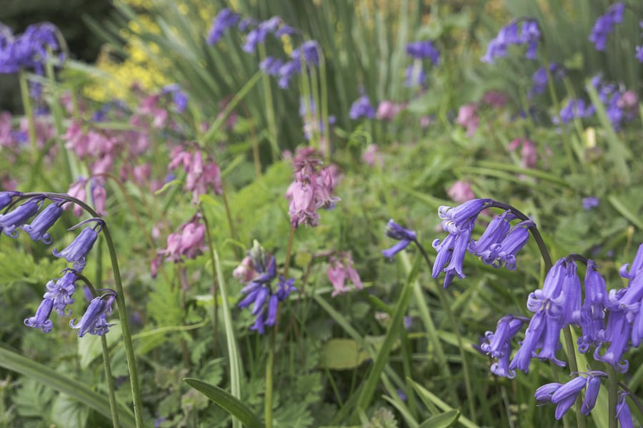 Bluebells and pink bluebells