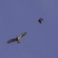 Buzzard and crow