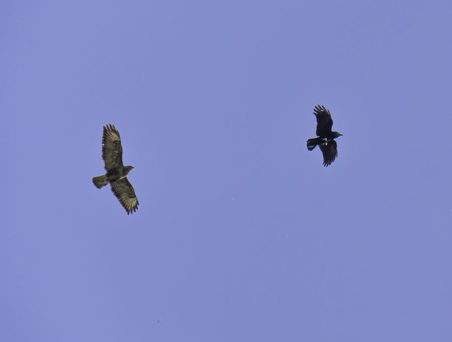 Buzzard and crow battle