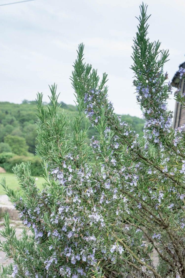 Flowering rosemary bush