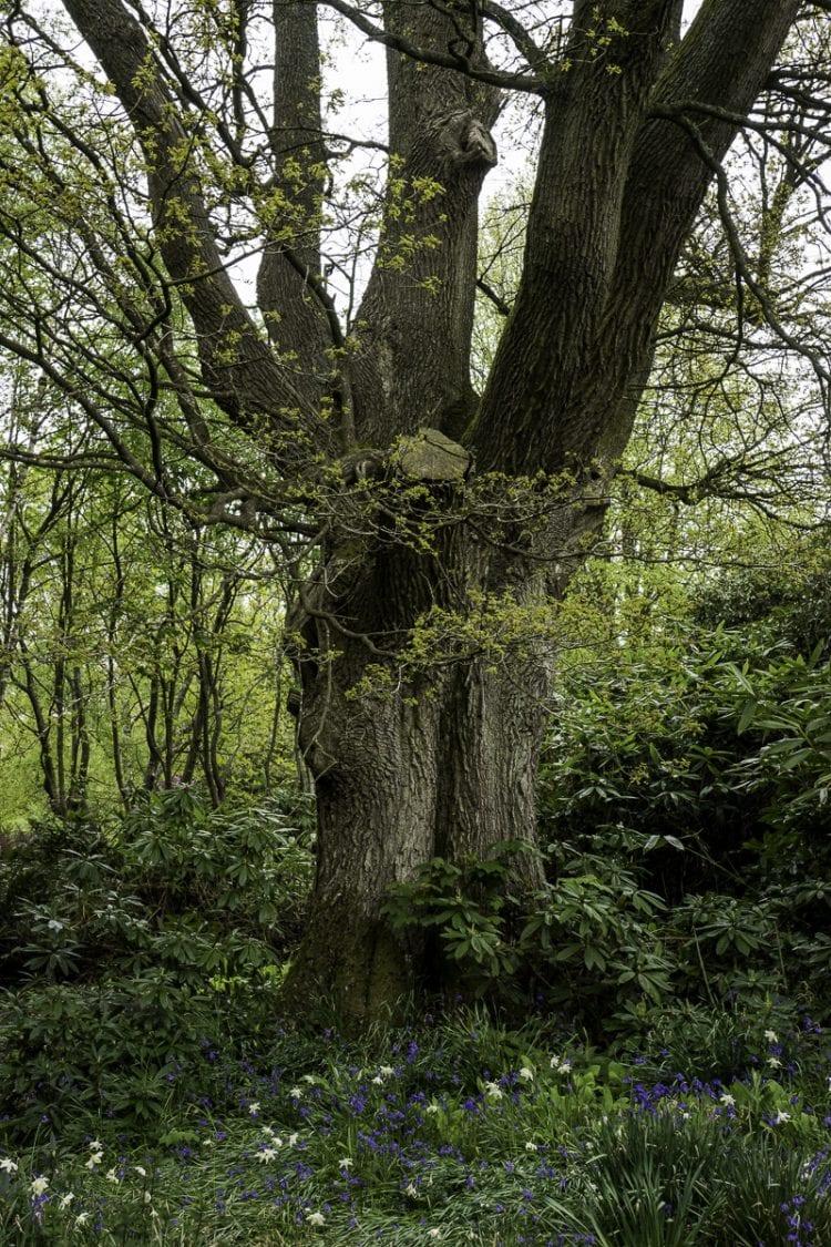 Oak tree and bluebells