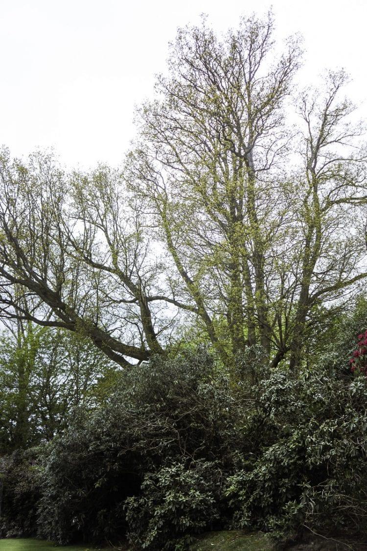 Oak tree behind shrubs