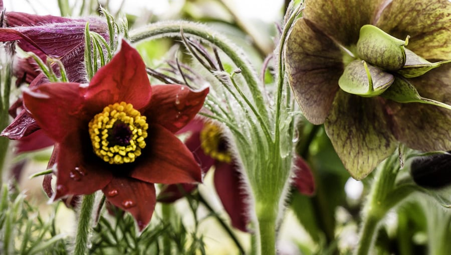 Pasque flower at RHS Wisley