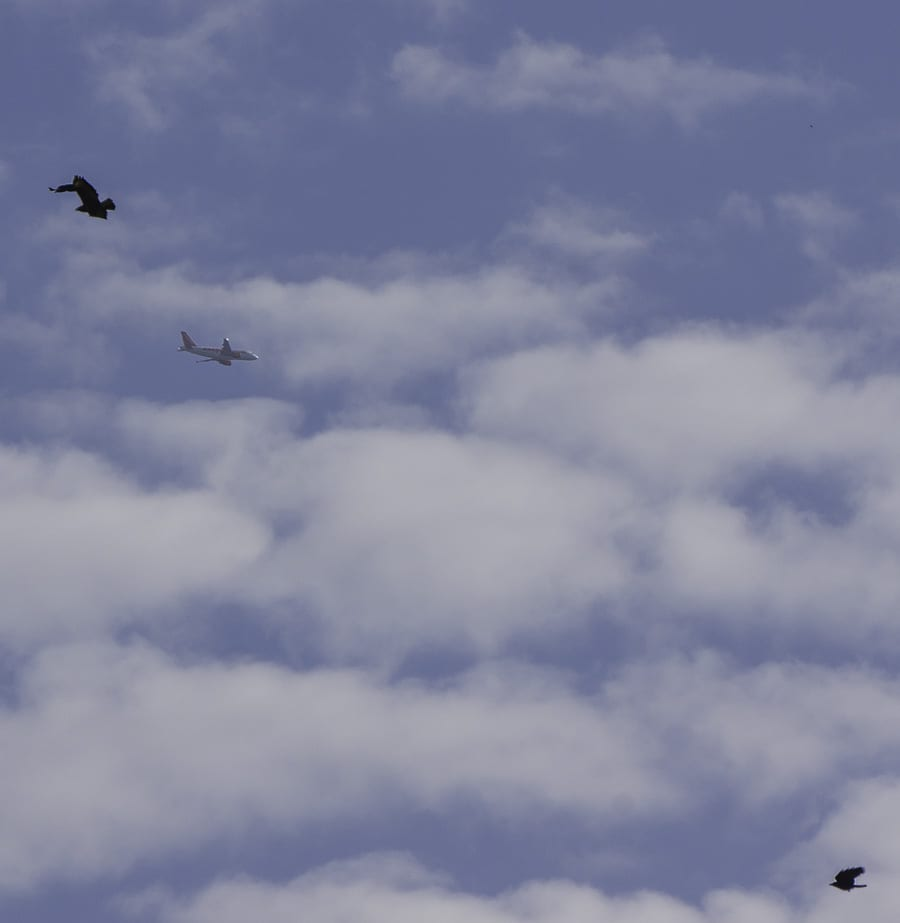 Plane in sky with crow and buzzard