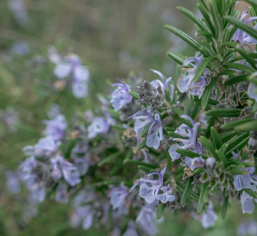 Rosemary flowers on branch