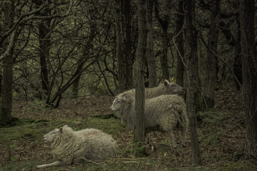 Sheep in Ashdown Forest