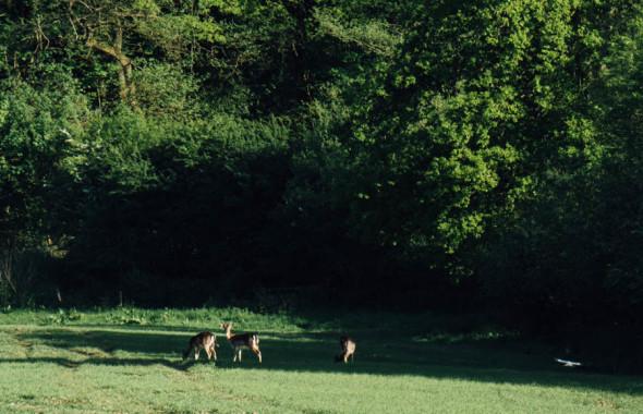 Woodlands scavenger hunt deer in field